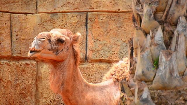 Camel video