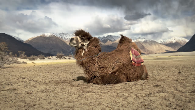 Camel yawn in nubra valley india video