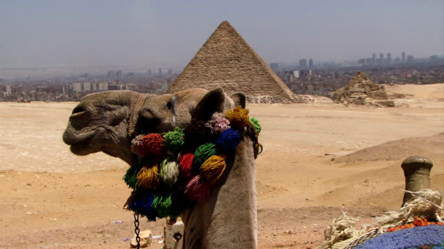 Camels head foreground with pyramids in background video