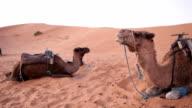 Camels in Sahara Desert video