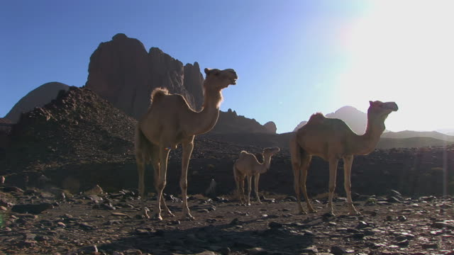 camels in the desert video