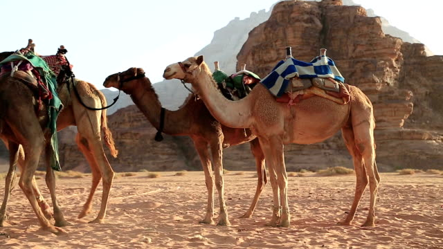 Camels in Wadi Rum desert, Hashemite Kingdom of Jordan video