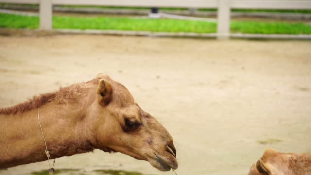 Camels in Zoo video