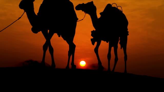 Camels Led Desert Sand Arab Male Sunset video
