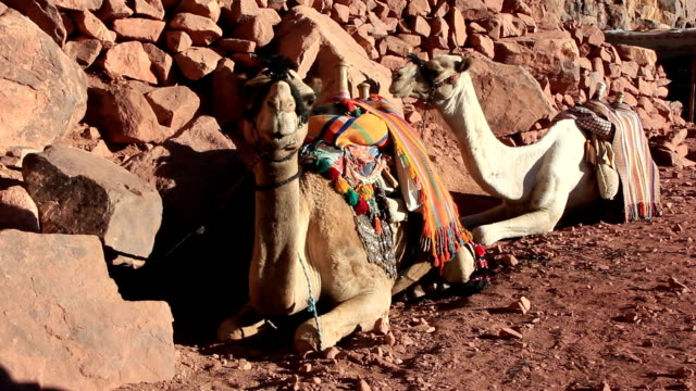 Camels. Mount Sinai. Egypt video