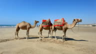 Camels on the beach, Morocco video