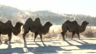 camels walking in a winter steppe video