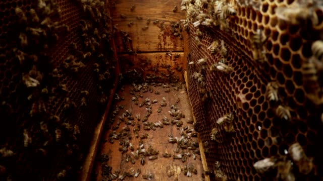 Camera Between Frames For Honeycombs Many Bees in Hive Hiver Pull Out One video
