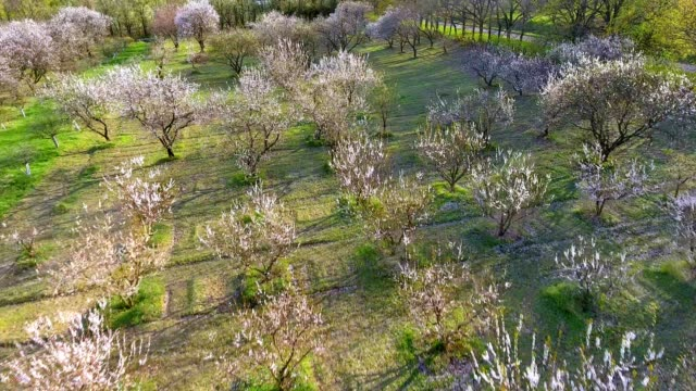 Camera flight over cherry blossom tree. Orchard in spring landscape. Industry and agriculture. video