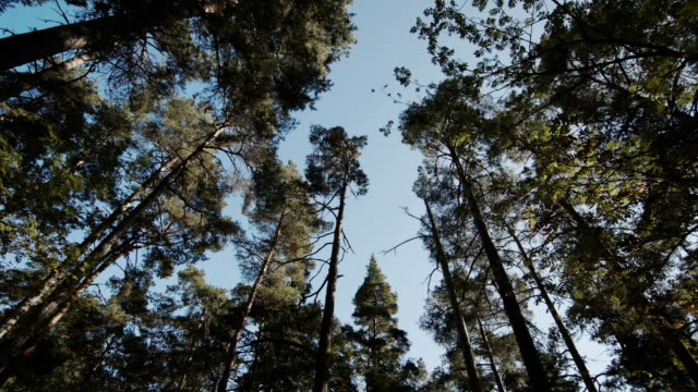 Camera looks at the sky through the pine branches video