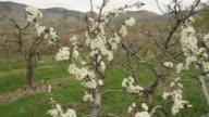 Camera Move, Prune Blossoms, Okanagan video
