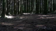 camera movement along the ground into the spruce fores video