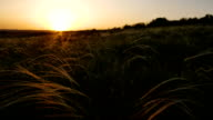 camera moves along field with golden grass on sunset, smooth movement video