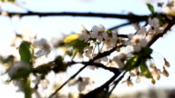 Camera moves following mild morning or evening sun shining through white cherry flowers blossoms blooming on branches of a tree at house and garden blurry background video