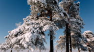 Camera moves from right to left taking a big trees with branches studded with snow video