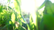 Camera moves with steadicam toward the sun through  young and  thick  grass. video