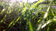 Camera moves with steadicam toward the sun through  young and  wet  grass.Water drops glisten on the grass after rain. video