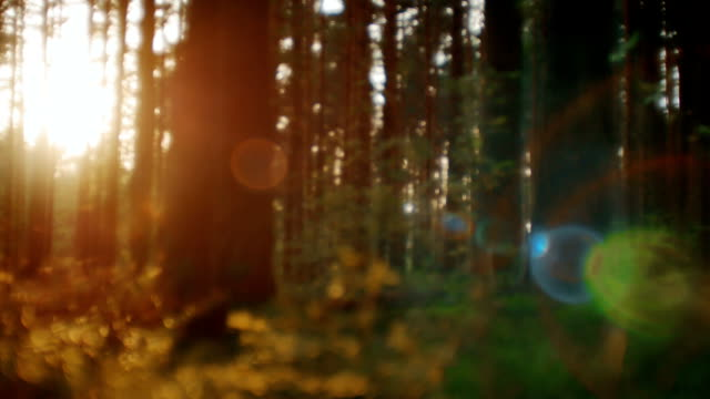 Camera moving across summer pine forest. Sunset light creating beautiful lens flare video