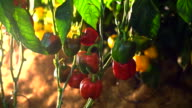 Camera pans through farm of ripe tomatoes on the vine with lighting video