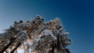 Camera rotates and removes big trees and the blue sky during the winter period video