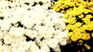 Camera slide over Chrysanthemum growing inside of greenhouse video