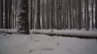 Camera sliding along fallen tree covered in snow in forest of tall pines video