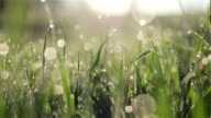 Camera slowly moving through fresh spring grass with early morning dew drops at meadow or yard - macro close up with blur bokeh water bubbles tracking shot to the left video