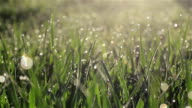 Camera slowly moving through fresh spring grass with early morning dew drops at meadow or yard - macro close up with blur bokeh water bubbles tracking shot to the right video