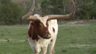 Camera zoom out from huge horned bull video