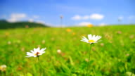 Camomile flowers on meadow-HD video