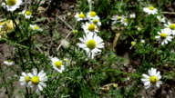 Camomile in the spring video