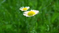 Camomile on Field video
