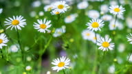 Camomile video