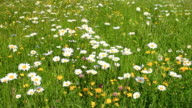 Camomiles on meadow video
