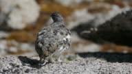 Camouflaged wild ptarmigan eat seeds on Mt. Evans Colorado video