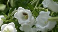 campanula medium and honey bees video