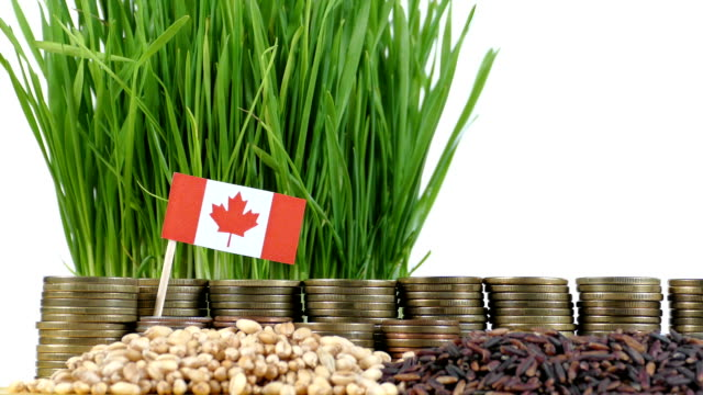 Canada flag waving with stack of money coins and piles of wheat video