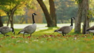 Canada Geese fun to go one by one long line. On a green meadow on a clear fall day just before sunset video