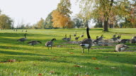 Canada Geese grazing on green meadow. In one of the parks in Buffalo, United States video