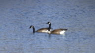 Canada Geese video