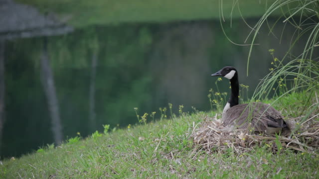 Canada Goose on the Nest video