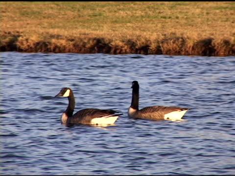 Canada Goose video