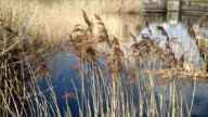 Canal side grasses moving in a breeze in Birmingham city centre. video