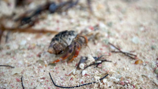 Cancer hermit crab walks on the sand on tropical island beach video
