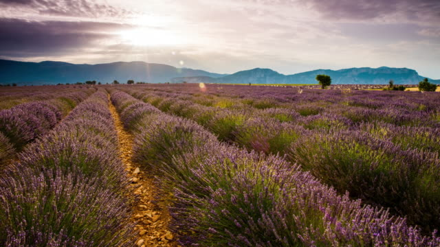 T/L Candid shot of a cloudscape over lavender field video