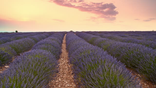 DS Candid shot of lavender field video
