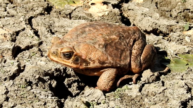 cane toad video