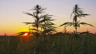DS Cannabis plants swaying in the wind video