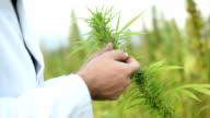 Cannabis. video