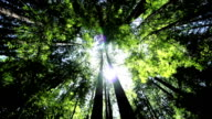 Canopy of Giant Redwood Trees video